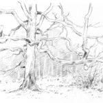 Le chêne - Crayon