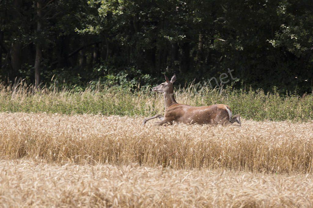 Biche dans les blés