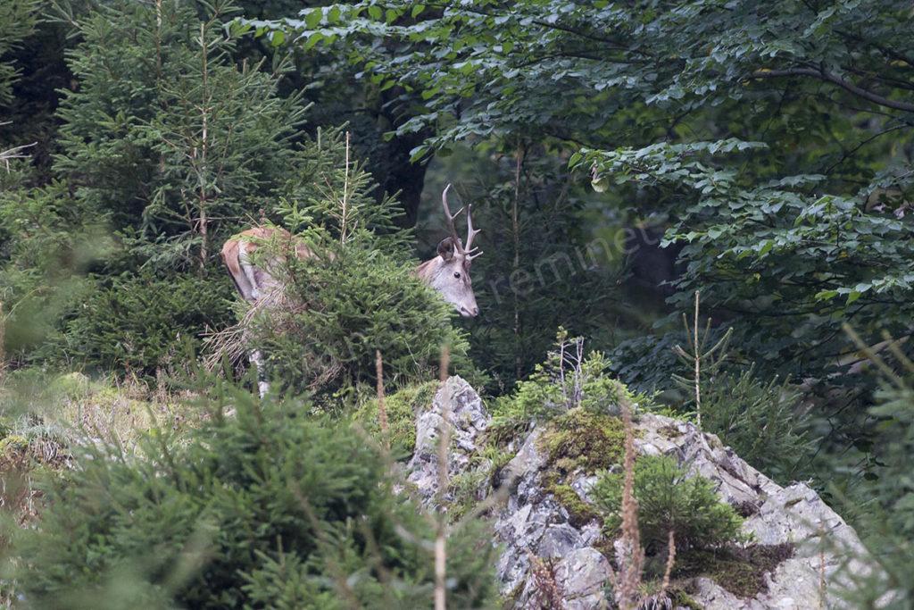 Cerf dans les Vosges
