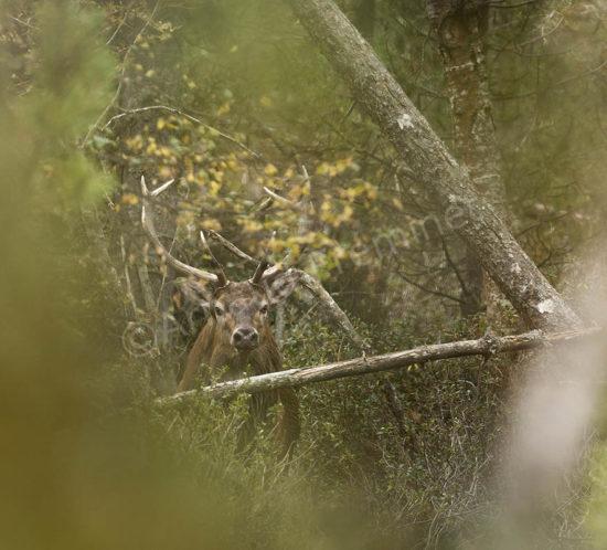 Cerf Forêt 1