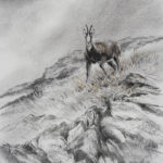 Isard - Fusain et pastel - 31x21 - D9012