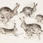 Etude de lièvres - Fusain et crayon bistre - 27x37 - D2936