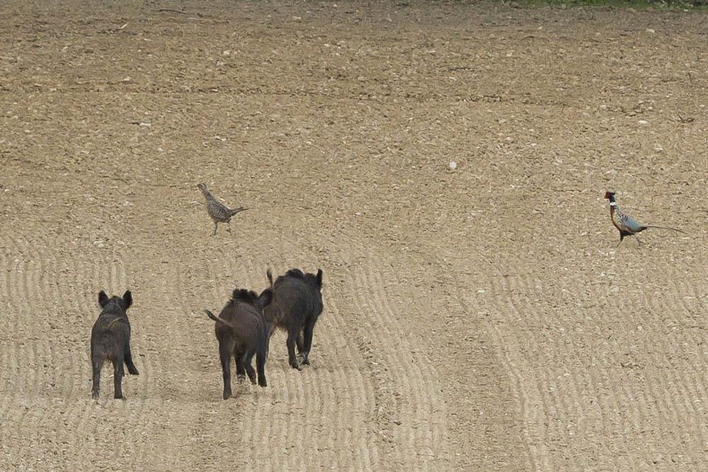 Sangliers poursuivant des faisans 1
