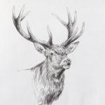Etude de cerf - Crayons pastel - 30x20 - D9512