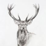 Etude de cerf - Crayons pastel - 30x20 - D9522