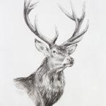 Etude de cerf - Crayons pastel - 30x20 - D9525